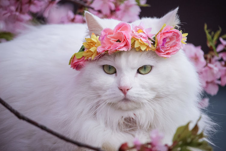 Close-up of white cat with pink flower