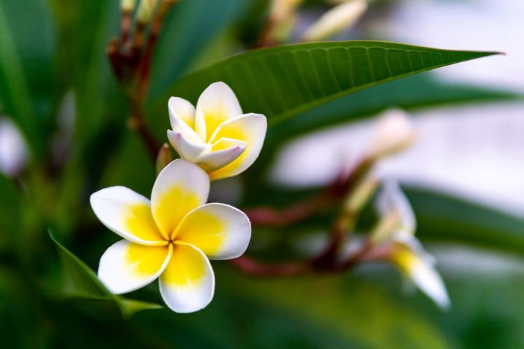 Frangipani. Yellow Flower Beauty In Nature Close-up Flower Flower Head Flowering Plant Focus On Foreground Fragility Frangipani Freshness Growth Inflorescence Leaf Nature No People Outdoors Petal Plant Plant Part Vulnerability  White Color