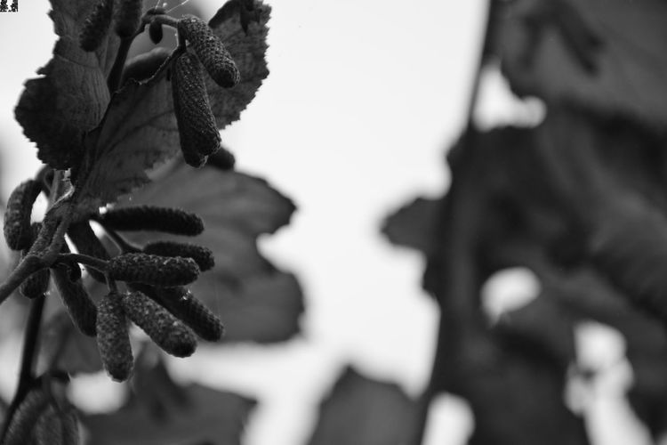 Hazel flowers and dew drops - monochrome Hazel Corylus Dew Dew Drops Flowers Close-up No People Plant Growth Nature Focus On Foreground Day Beauty In Nature Freshness monochrome photography Selective Focus Leaf Plant Part Tree Outdoors Tranquility Fragility Autumn EyeEmNewHere