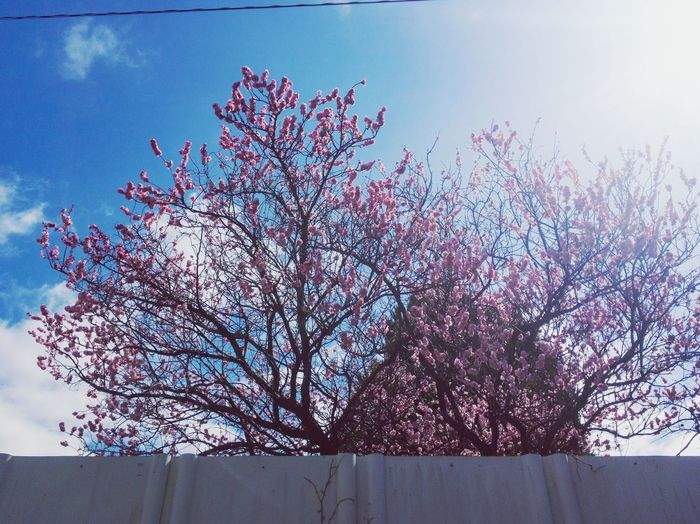 Over The Fence Spring Is Coming  Tree Branch Flower Blossom Growth Sky Pink Color