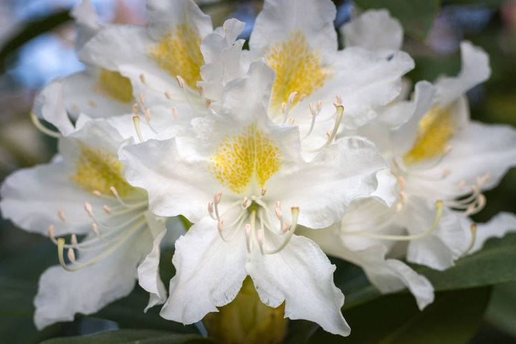 Close-up of white rhododendron flower in full bloom in a garden Flower Flowering Plant Beauty In Nature Plant Fragility Vulnerability  Freshness Petal Growth White Color Close-up Inflorescence Pollen Flower Head Nature No People Focus On Foreground Day Blossom Outdoors Spring Garden Rhododendron Detail Yellow