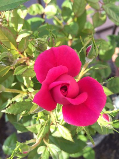 Lovely Roses Of My Garden Nature Spring Voice MyGallery Blooming Pink Rose Beauty In Nature Hello World MyFavorite