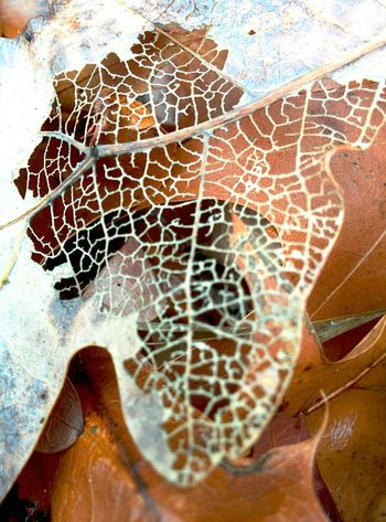 Leaf Veins Dead Leaves Leaf Skeleton