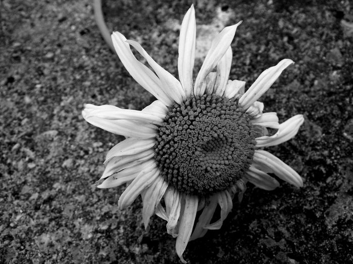 Appassito Bianco E Nero Black And White Daisy Die End Of Life EyeEm Best Shots EyeEm Gallery EyeEm Nature Lover EyeEmBestPics Fine Fiore Flower Margherita Morte Time Withered Flower Black And White Friday