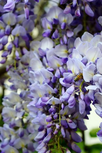 Purple Flower Freshness Nature Growth Beauty In Nature Fragility Close-up Plant Day Outdoors No People Backgrounds Flower Head Bee 🐝 EyeEmNewHere Plant Petal Springtime Beauty Beauty In Nature Freshness White Color Crocus