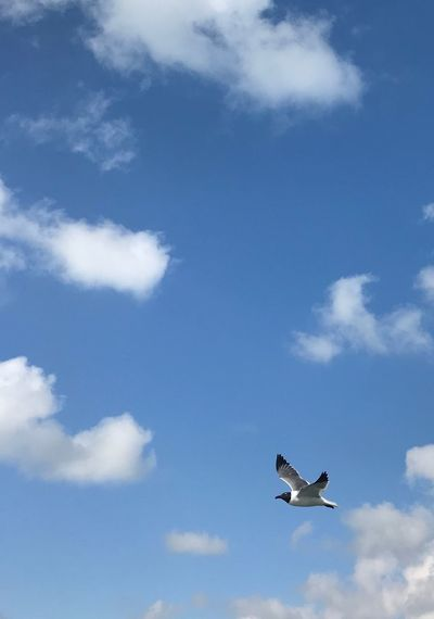 Lone Bird Animal Wildlife Bird Sky Mid-air Spread Wings No People Blue One Animal Flying Cloud - Sky Animals In The Wild Animal Themes