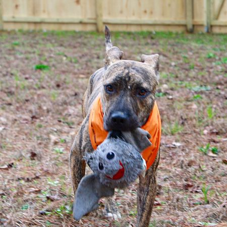 Dog with bat-ball! Pitbull Pibble Rescuedog Bestfriend