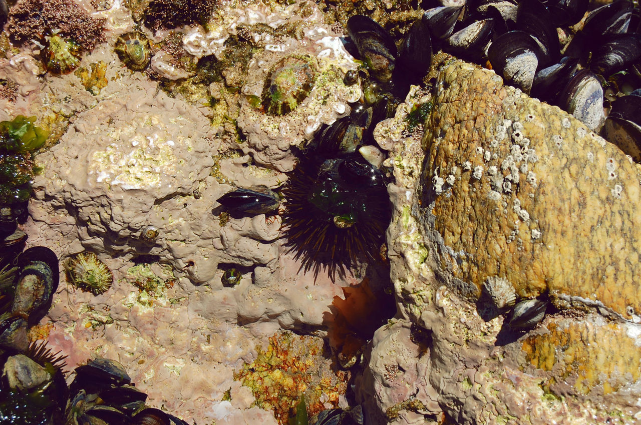 High Angle View Of Sea Urchins And Mussels On Rock