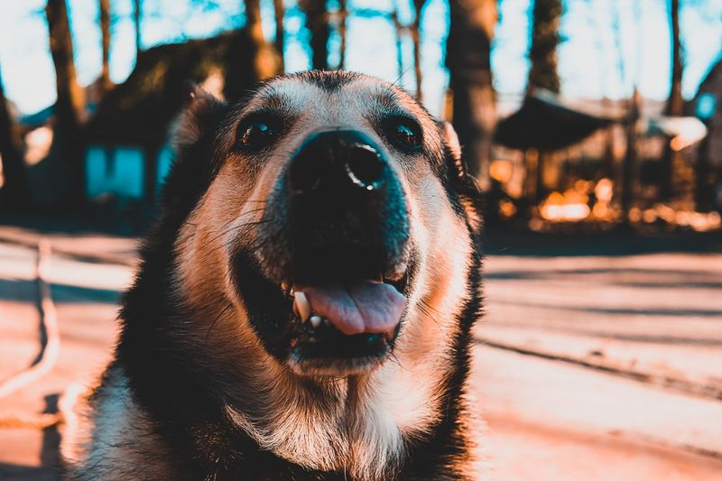 🐺 EyeEm Nature Lover EyeEm Best Shots EyeEm Gallery EyeEm Selects Mammal One Animal Animal Themes Animal Domestic Animals Pets Focus On Foreground Vertebrate Domestic Animal Body Part Canine Dog No People Close-up Animal Head  Sunlight Day Nature Outdoors Looking