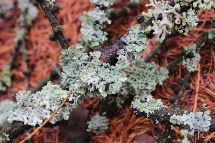 Close-up of lichen on plant during winter