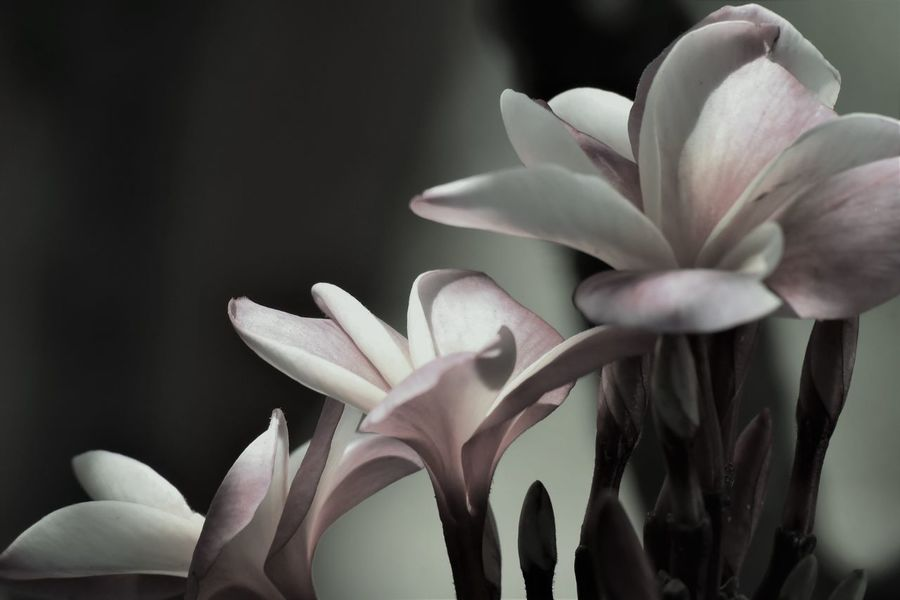 Black And White With A Splash Of Colour Beauty In Nature Blooming Close-up Day Flower Flower Head Fragility Freshness Growth Nature No People Outdoors Petal Plant Plumeria Blossoms