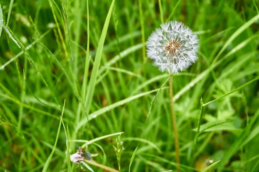 Beauty In Nature Close-up Dandelion Dandelion Seed Day Field Flower Flower Head Flowering Plant Focus On Foreground Fragility Freshness Grass Green Color Growth Inflorescence Land Nature No People Outdoors Plant Softness Vulnerability
