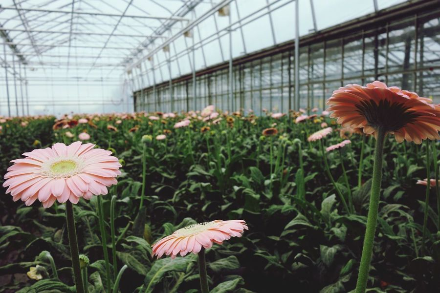 Pink Floriculture Greenhouse Gerbera Daisy Growth Flower Plant Greenhouse Botany Nature Plant Nursery Beauty In Nature Petal Fragility Day Freshness No People Flower Head Close-up