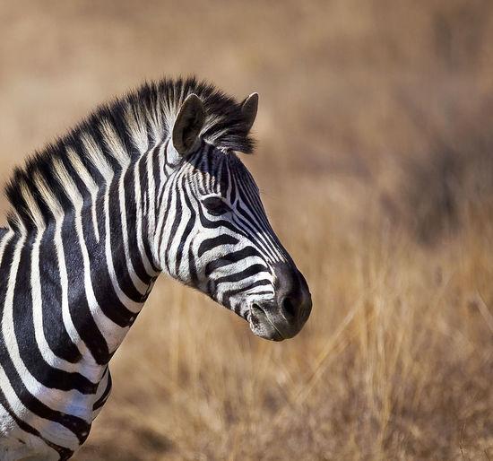 Close-up of zebra on grass