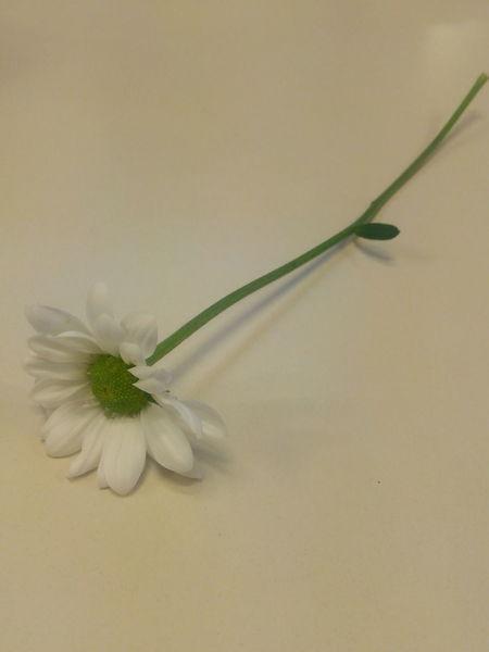 Daisy Indoors  Flower Freshness Softness Nature Beauty In Nature Single Flower Flower Head Alone Medusangel