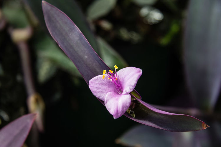 Tradescantia pallida is a species of spiderwort (a genus of New World plants) more commonly known as wandering jew, a name it shares with the closely related species T. fluminensis and T. zebrina. Other common names include purple secretia, purple-heart, and purple queen. It is native to the Gulf Coast region of eastern Mexico. https://en.wikipedia.org/wiki/Tradescantia_pallida Beauty In Nature Blooming Close-up Flower Flower Head Petal Plant Setcreasea Purpurea