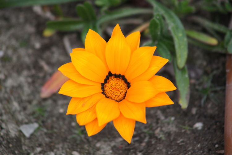 Close-up of orange flower blooming on field