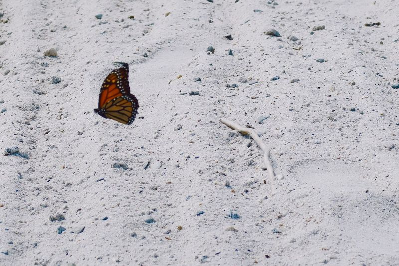 Monarch butterfly on the beach