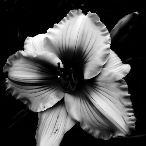 Blackandwhite Photography Flower Petal Flower Head Fragility Close-up Black Background No People Beauty In Nature Freshness Nature Studio Shot Day Outdoors Unique Photography Likeandfollow Beauty All Around Backgrounds Freshness Growth Nature Scenics Landscape Beauty In Nature