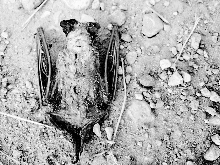 Mourn for the Dead, Fight like Hell for the Living | Insect Animal Themes Animals In The Wild Close-up Day High Angle View No People Animal Wildlife Outdoors One Animal Nature Noir Pathetique Black & White Bats Bat Vampire Neglected Rotten Flying