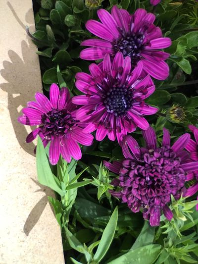 Flower Fragility Flower Head Petal Freshness Nature Beauty In Nature Growth Blooming Plant Pink Color Purple No People Close-up Day Outdoors Osteospermum Aria Resort & Casino.