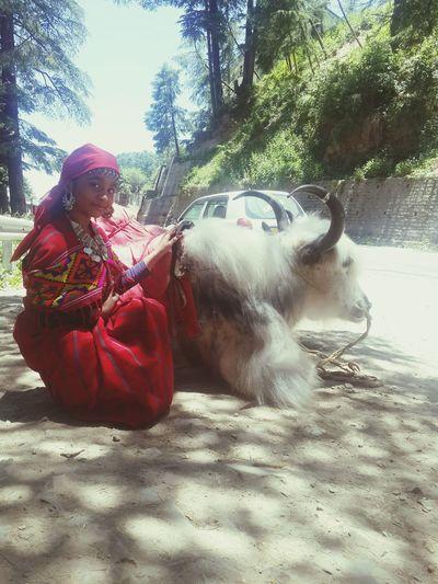 with hinalayan ox Riya