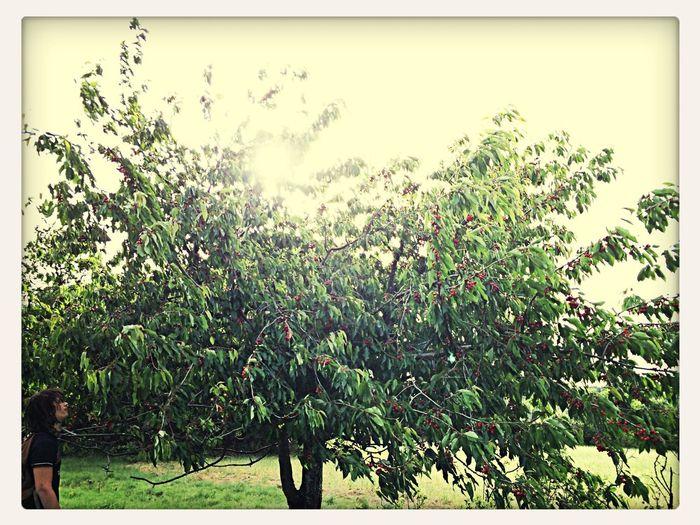 Cerise... Cerise Times Cherry