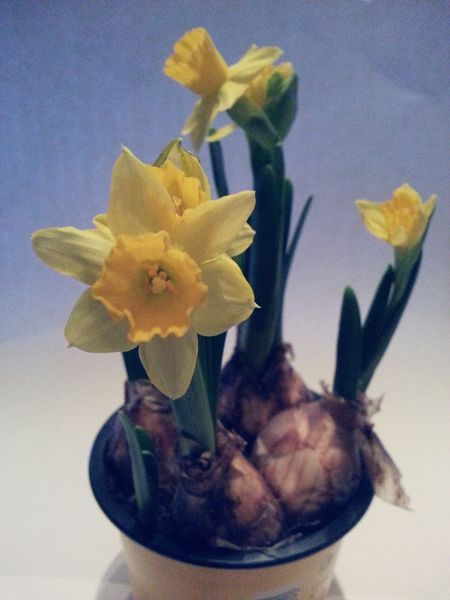 Flower Yellow No People Indoors  Lent Lily Daffodils Flowers Narcissus Flowers Spring Springtime