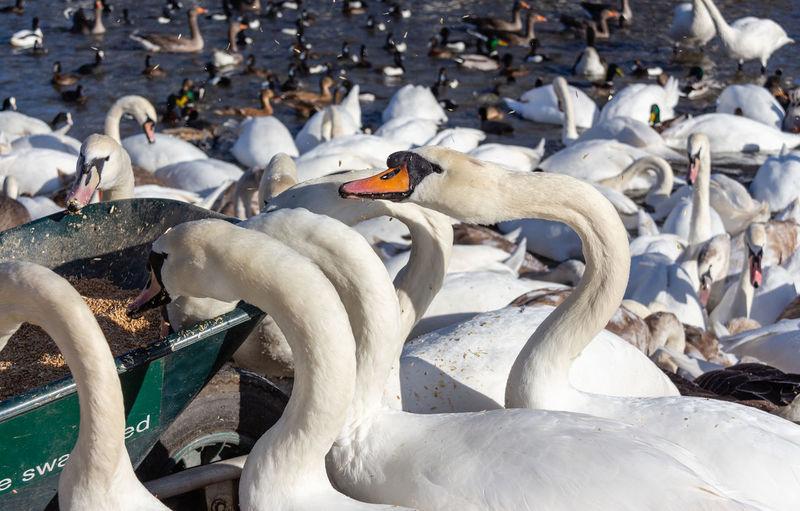 Swan Lake Flock Of Birds Focus On Foreground Bird Large Group Of Animals Beak Water