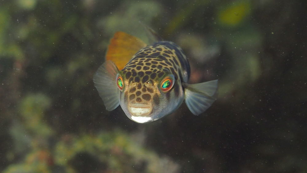 Smooth Toadfish-Tetractenos glaber Diving Kofferfisch SCUBA Snorkeling Tauchen UnderSea Animal Animal Wildlife Animals In The Wild Camouflage Camouflage Clothing Close-up Fisch Fish Kugelfisch Marine Nature Poisenous Sea Sea And Sky Sea Life Underwater Vertebrate Water Waterfront