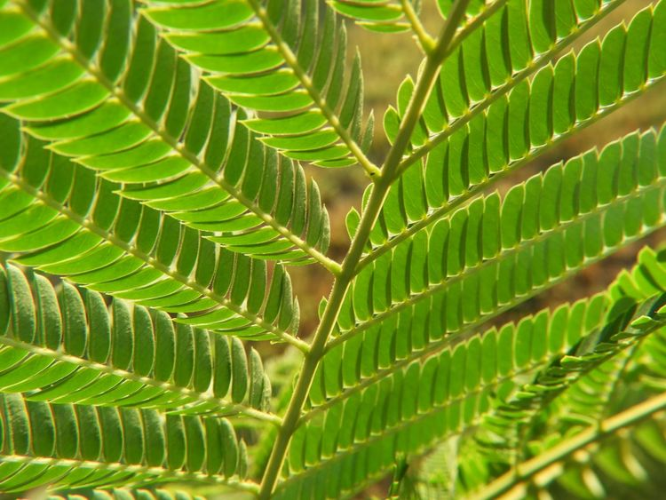 Mimosa macro Leaf Green Color Plant Plant Part Growth Close-up Full Frame No People Nature Natural Pattern Beauty In Nature Backgrounds Selective Focus Day Outdoors Pattern