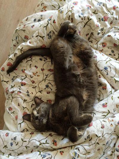 Cat in the Bed Sleeping Sleeping Cat