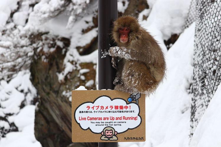 朝一に猿http://www.jigokudani-yaenkoen.co.jp/livecam2/video.php Cold Temperature Tree Hanging Travel