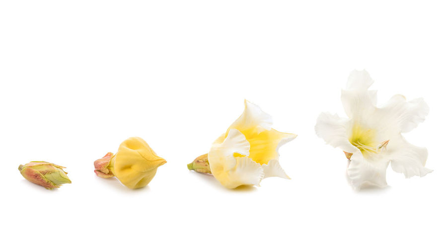 Close-up of yellow flowers against white background
