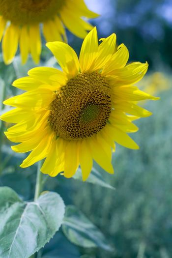 Sunflower Flower Flowering Plant Yellow Freshness Plant Growth Petal Beauty In Nature Flower Head Close-up Fragility Focus On Foreground Sunflower Nature Day