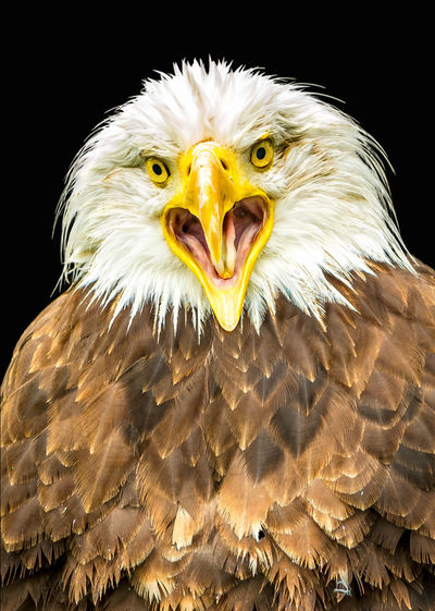Close-up portrait of eagle owl against black background