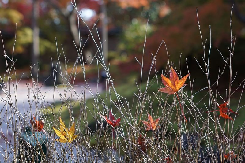 Fragility Nature Plant No People Autumn Leaves EyeEm Nature Lover Maple Leaf Botany Tree Focus On Foreground