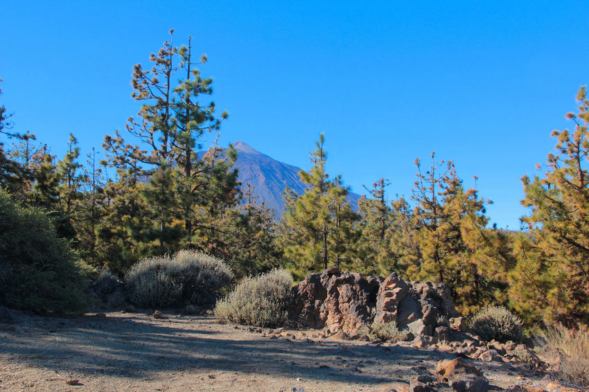 Animal Themes Animal Wildlife Animals In The Wild Beauty In Nature Blue Canadas Del Teide Clear Sky Day Landscape Mammal Mountain Nature No People Outdoors Safari Animals Scenics Sky Teide Teide National Park Tenerife Travel Destinations Tree