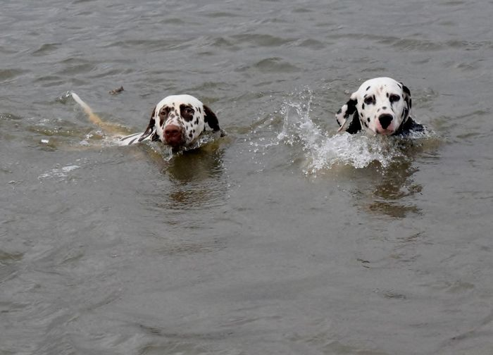 Portrait Of Dogs Swimming In Water