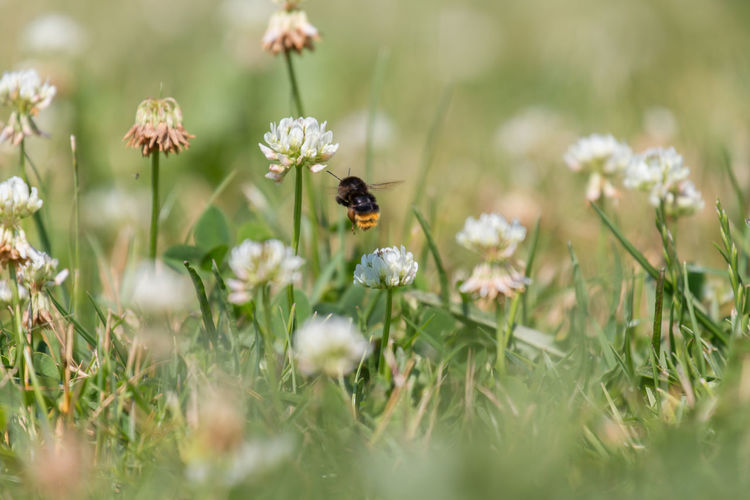 Bumblebee hovering by flowers on field