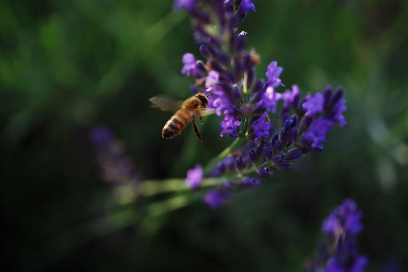 Insect Purple