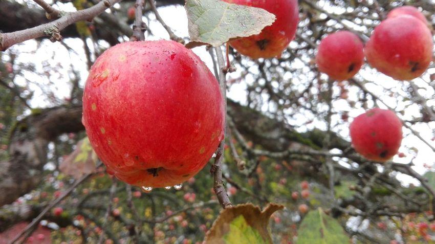 Apples Fruits Water Drops Food Estonia Autumn Baltics Tasty Delicious Close Up яблоки фрукты Harvest урожай природа эстонии эстония прибалтика Капли воды вкусно фото природы
