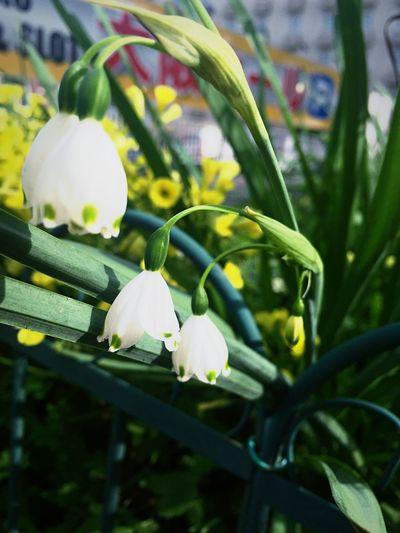 アドプト・ロード・しんばし Flower Spring Flowers Yellow White EyeEm Flower 花がいっぱい植えられてて好きな場所。