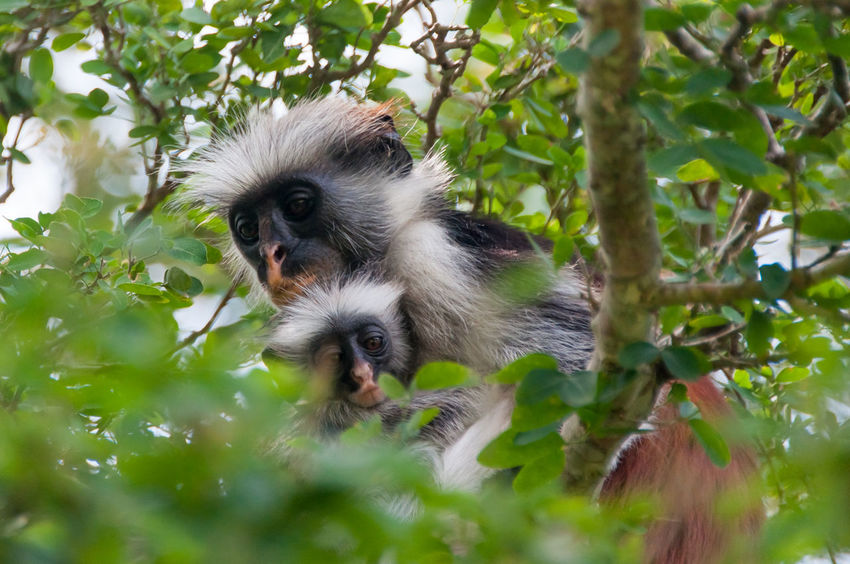 Red monkey Red colobus - Zanzibar Animal Themes Animals In The Wild Branch Cercopiteco Colobus Monkey Jozani Forest Monkey Monkeys Mother And Son Nature Pets Red Colobus Red Monkey Scimmia  Scimmia E Figlio Sweet Tanzania Tree Wildlife Zanzibar First Eyeem Photo