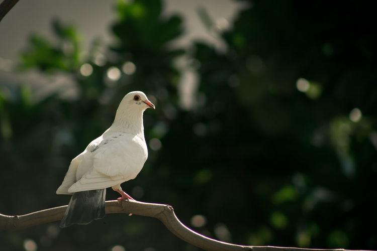 Dove bird perching on tree branch