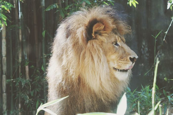 Que pasa Mufasa ? Beast Lion Nature King Jungle Zoo Animals Taking Photos Photography I Need This