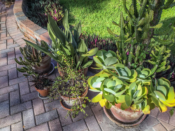 Brick pavers & potted plants Brick Pavers Cacti Cactus Day Freshness Green Color Growth Nature No People Outdoors Plant Potted Plant Succulent Plants