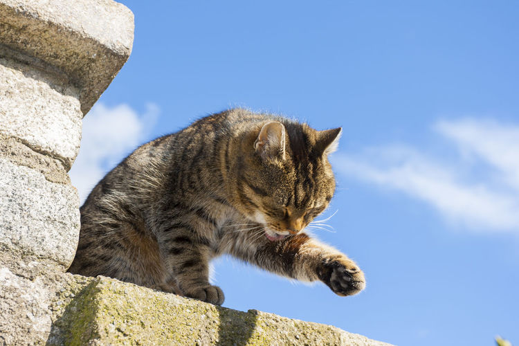 Sweet cat on the wall with sky in the background Mammal Animal Animal Themes One Animal Cat Domestic Cat Feline Sky Domestic Animals Pets Low Angle View Domestic No People Vertebrate Wall Nature Blue Day Solid Sunlight Whisker Tabby