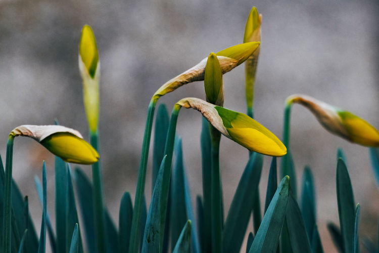 Growth Plant Close-up Yellow Flower Beauty In Nature Vulnerability  Fragility Flowering Plant Green Color Nature No People Petal Focus On Foreground Freshness Day Outdoors Flower Head Inflorescence Leaf Daffodil
