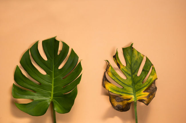 Monstera leaves being aged and dehydrated over time changing - aging concept Cycle Of Life Death Decay Life Aging Beige Background Changes Close-up Colored Background Concept Conceptual Dehydrated Freshness Green Color Healthy Eating Indoors  Leaf Leaves Monstera No People Photography Plant Studio Shot Time Yellow